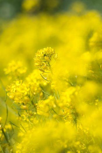 水菜の花(菜の花じゃないよ) OSAKA Japan Spring Flower Yellow Flower Head Oilseed Rape Agriculture Rural Scene Close-up Plant