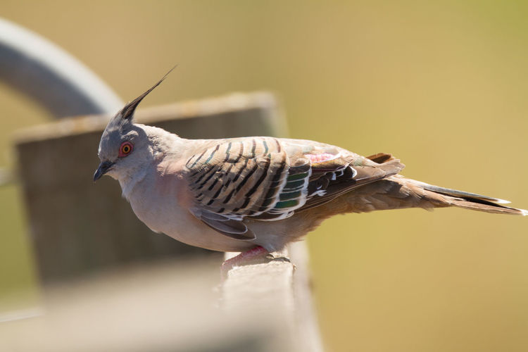Animal Wildlife Animals In The Wild Bird Bird Photography Crest Crested Crested Pigeon Nature Nature Photography No People Ocyphaps Lophotes One Animal Wildlife & Nature Wildlife Photography