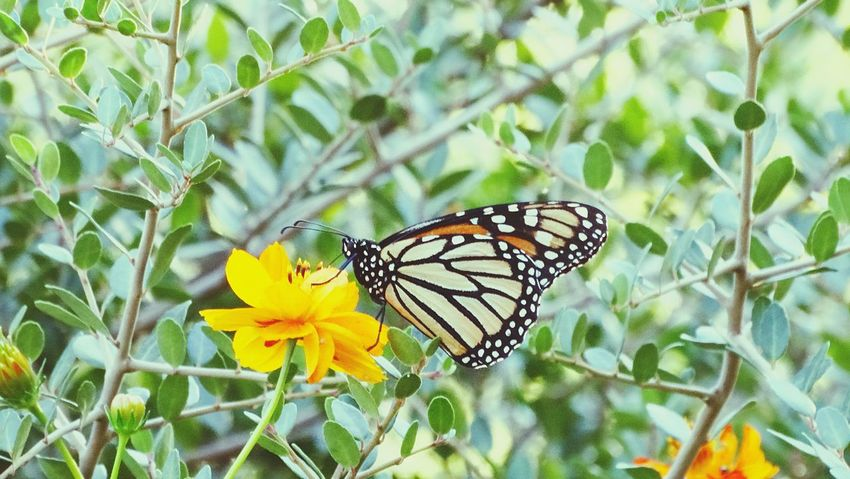 Showcase March Springtime New Life Monarch Butterfly Smell pollen Pollenation o Colors Of Nature