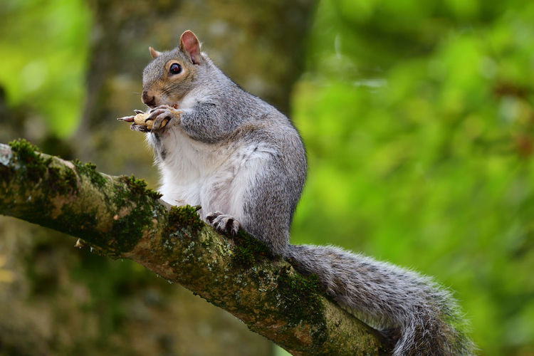 Close-up of a grey squirrel on a branch eating a nut
