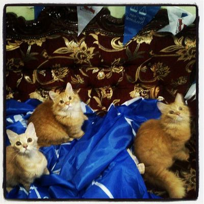 Blue is the colour BetterNation Transformation PRU13 Persiancat persiankittens kittens