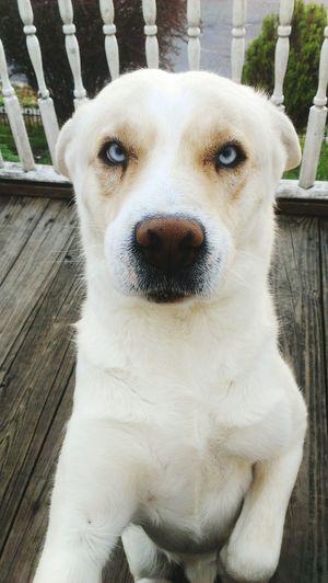 My pup blu Dog Love Perrito Mansbestfriend