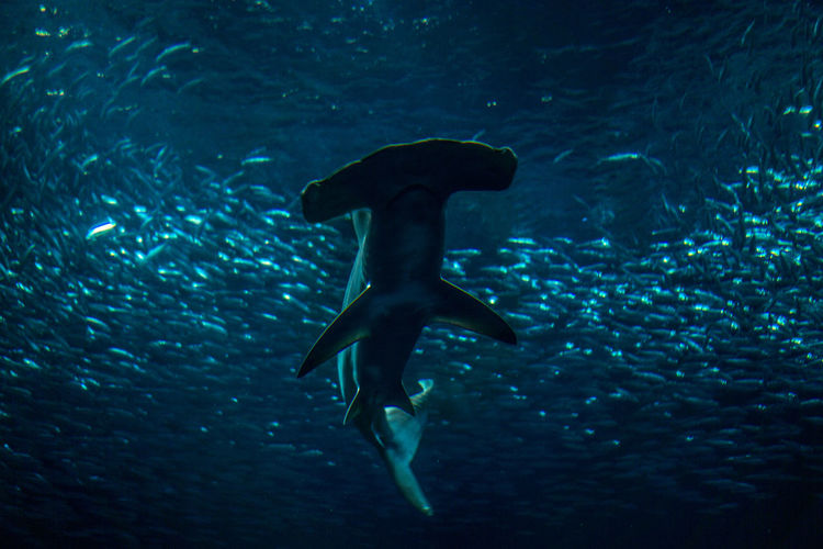Wildlife photo of a hammerhead shark seen from below as it swims towards the camera from the depths of the aquarium. A school of silvery fish can be seen encircling the shark but giving it a wide berth. Photo taken in Monterey California Animal Animal Themes Animal Wildlife Animals In The Wild Aqua Aquarium Fish Group Of Animals Hammerhead Shark Marine Nature No People Ocean School Of Fish Sea Sea Life Shark Sharks Swimming UnderSea Underwater underwater photography Vertebrate Water