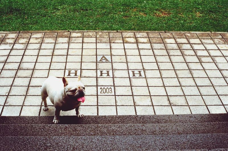 Playing With The Animals Jogging Dog Hhh Frenchbulldog French Bulldog Bulldog Cute Pets Pets Corner Bulldog Francese