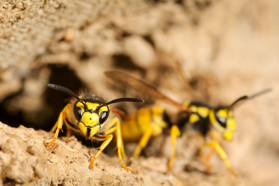 Wasps photographed in Afghanistan ready to fly. Fear Nature Vespula Germanica Allergic Animals Antenna Closeup Colorful Dangerous Detailed Fauna Hairy  Hymenoptera Insects  Mandibles Nesting Box Outdoors Painted Image Pest Poisonous Pupae Reaction Stinging Nettles Wasp Yellow