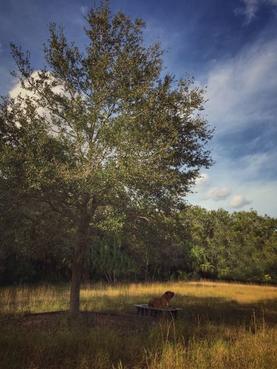 Memorial oak Oak Tree Bench Benchunderthetree Bullmastiff Tranquility Resting Place Taking A Break Tree Nature Fieldscape Grass No People Scenics Animal Themes Outdoors Shady Place In The Shade Live Oak Live Oak Tree Dog At Rest