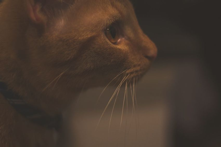 Cat One Animal Animal Themes Domestic Cat Close-up Mammal Whisker Feline Pets Animal Head  Domestic Animals Side View