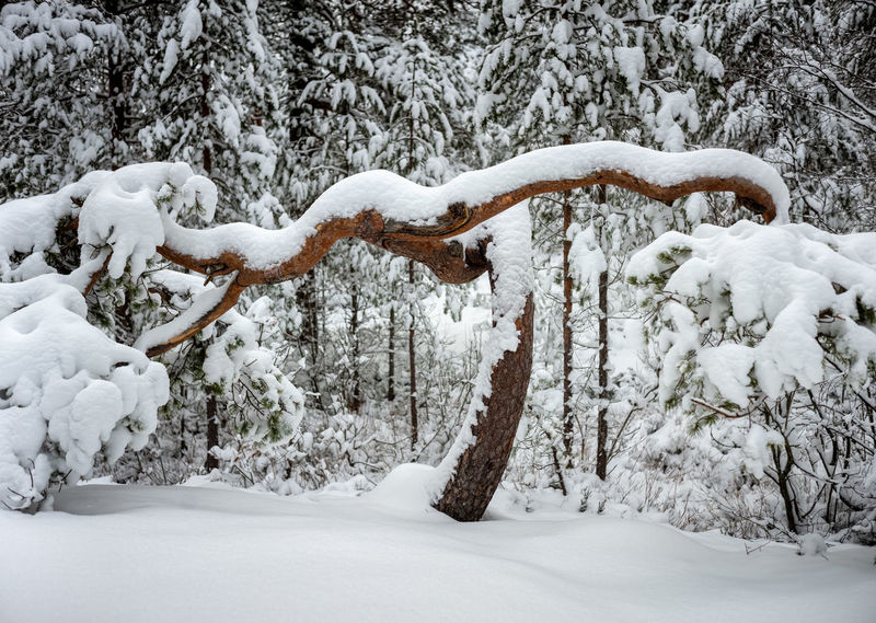 Merry Christmas Snow Cold Temperature Winter Tree Forest Beauty In Nature Nature Scenics - Nature Tranquility Tranquil Scene White Color Day Environment No People Non-urban Scene Landscape Frozen WoodLand Pine Tree Outdoors Evergreen Tree Bowing Bowing Trees Honouring
