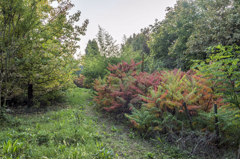 Rhus Typhina, ornamental plant with red leaves Plant Growth Tree Beauty In Nature Land Tranquility Green Color Nature Forest Tranquil Scene No People Day Environment Field Sky Scenics - Nature Outdoors Foliage Non-urban Scene Lush Foliage Coniferous Tree