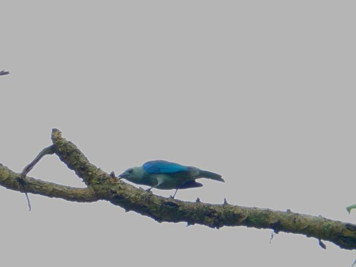 Amazon Parrot Amazon River Amazonas Animals In The Wild Bird Photography Birds Of EyeEm  Blue Bird Green Tree Amazon Amazon Rainforest Amazonia Bird Birdhouse Birds Forest Parrot Parrot Lover Parrots Parrots Of Eyeem Rainforest Tropical Climate Woodpecker Woodpecker In Tree Woodpeckers