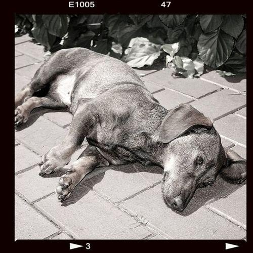 Dachshund Dreams #leica #digilux #digilux2 #germany #rastede #dachshund Germany Leica Dachshund Rastede Digilux2 Digilux