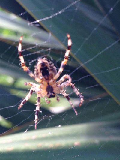 Spider Spider Web One Animal Animal Themes Focus On Foreground Web Animals In The Wild Survival Close-up Insect Nature No People Animal Leg Animal Wildlife Day Outdoors Belly Spider Underside Hairylegs
