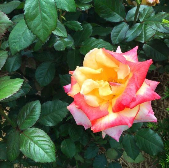 로즈♡ Flower No People Pink Color Rose🌹 Rose♥ Rose - Flower 맑은날 추천합니다 좋아요 가볼만한곳 장미 부천 꽃스타그램 이쁨 장미꽃 꽃구경 꽃스타그램🌸 장미축제 Beautiful Springtime Spring Spring Flowers 꽃 데이트 아름다움