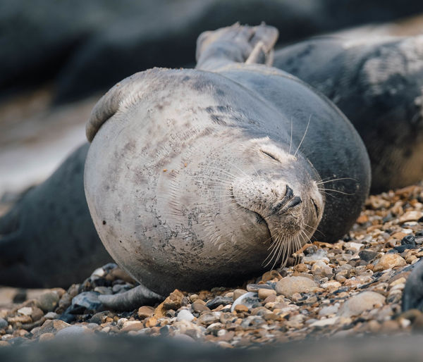 Close-up of seal on rock
