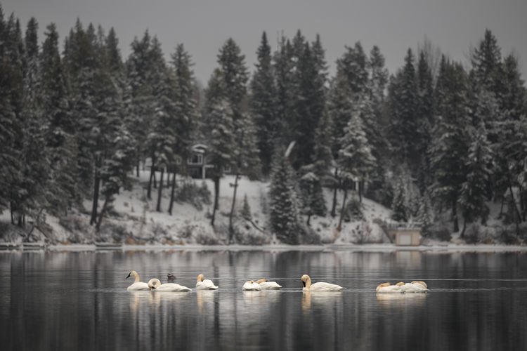 A shot taken a week before Ness Lake froze of some Trumpeter Swans who were passing though on their annual migration. Interestingly these swans are actually flying North to winter over on the Crooked River north of Prince George where warm springs keep parts of the river open all year. The trumpeter swan (Cygnus buccinator) is the heaviest living bird native to North America and the largest waterfowl in the world with a wingspan that can exceed 10 ft (3.0 m). Ness Lake, Northern British Columbia, Canada. Love Life, Love Photography Swans Swiming Trees Winter Is Coming Animal Beauty In Nature Bird Birds Cabin Canada Cold Temperature Day Lake Lake View Nature No People Non-urban Scene Northern British Columbia Plant Scenics - Nature Swans On The Lake Tranquility Trumpeter Swans Water Waterfront