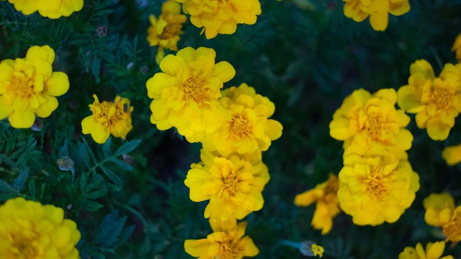 Yellow Yellow Flower Flowering Plant Flower Head Beauty In Nature Plant Close-up Vulnerability  Inflorescence Freshness Fragility Growth Petal No People Water Nature Full Frame Outdoors Day Backgrounds