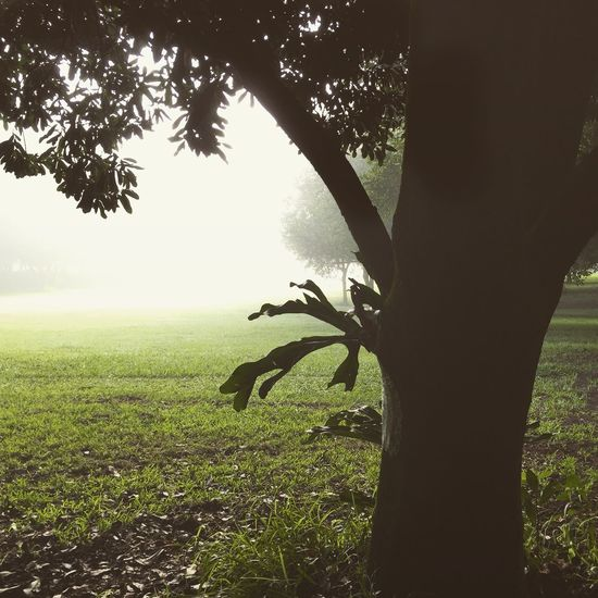 Misty morning in macadamia orchard IPS2015Trees Rural Landscape Tree_collection  Rural Scene Rural Australia Northern Rivers Macadamia Macadamianut Macadamia Orchard Macadamia Nut Mist Misty Morning Light Foggy Morning Morning Walk