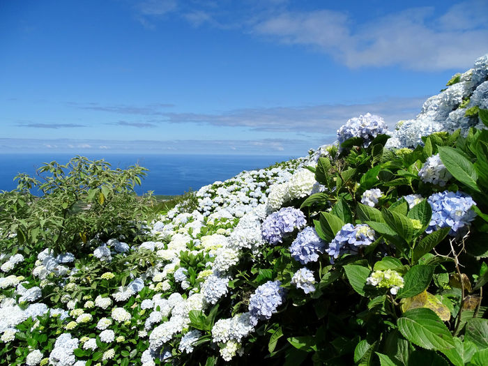 Nature_collection Hortensia Flower Water Sea Flower Head Blue Uncultivated Beach Sky Horizon Over Water Close-up Flowering Plant