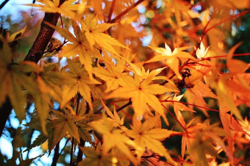 Autumn is here in Japan. photographer Japan Japan Photography Autumn colo Photographer Japan Japan Photography Autumn Leaves Autumn🍁🍁🍁 Naturelovers Nature Photography Nature_perfection Plant Growth Beauty In Nature Plant Part Leaf Autumn Close-up No People Backgrounds Tree Nature Full Frame Fragility Branch Flower Vulnerability  Day Flowering Plant Outdoors Change