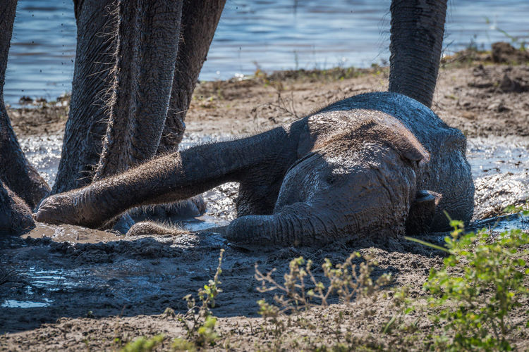 African Elephant Calf Relaxing In Mud