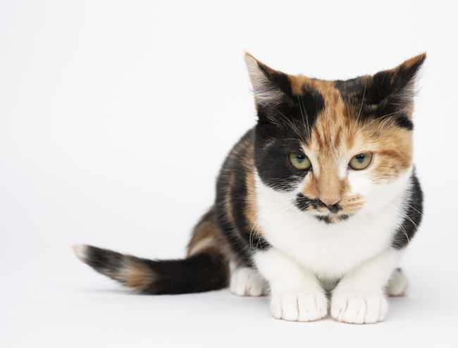Animal Animal Themes Cat Copy Space Domestic Domestic Animals Domestic Cat Feline Full Length Indoors  Looking At Camera Mammal No People One Animal Pets Portrait Sitting Studio Shot Vertebrate Whisker White Background