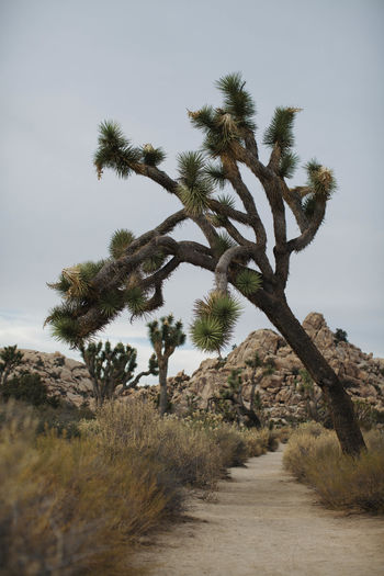 Joshua Tree National Park Beauty In Nature Day Desert Beauty Desert Landscape Design Grass Growth Joshua Tree Landscape Nature No People Outdoors Plant Scenics Sky Tranquil Scene Tranquility Tree