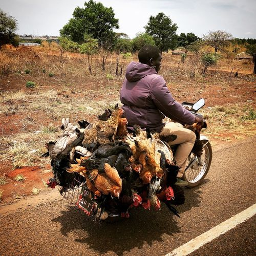 Chicken Transportation, Gulu district, Uganda Chicken Farmer Salesman Lifestock Country Road Countryside The Week on EyeEm Motorcycle Motorcycle Chickens Day Transportation