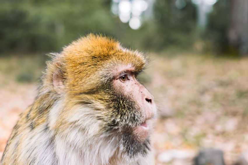 Wildlife shot of a barbary macaque monkey's side profile of the face at the National Park of Ifrane, Morocco. Africa Animal Atlas Mountain Barbary Barbary Macaque Cedar Delouse Ecology Ecosystem  Endangered Species Endemic Grooming Habitat Ifrane Louse Lousing Macaca Mammal Monkey Morocco National Park Nature Primate Protection Wildlife