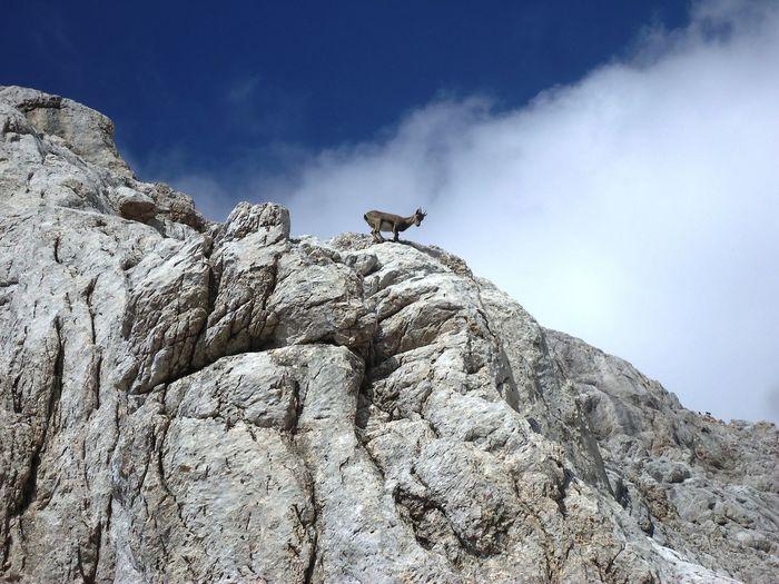 Activity Adventure Animal Wildlife Animals In The Wild Freedom High Mountain Mountain Peak Nature One Animal Rock Wild EyeEmNewHere Summer Sports