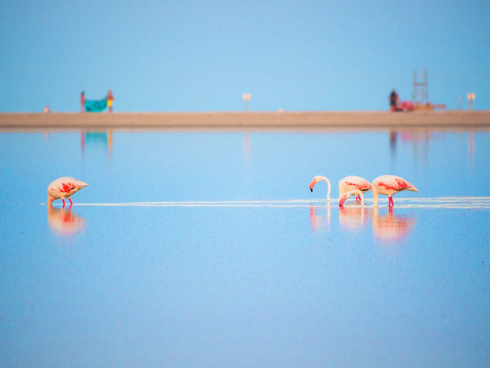 Flamingos in sea against blue sky