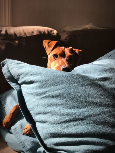 Portrait of dog resting on bed at home