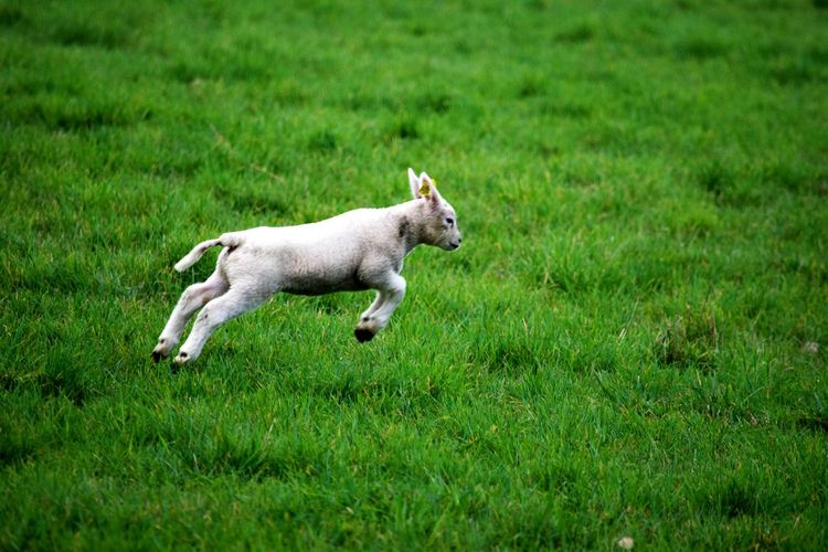 Lamb Running On Grassy Field
