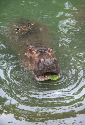 This duck steps up for a free ride while the hippo tries to eat his lettuce breakfast. Animal Animal Body Part Animal Head  Animal Themes Animal Wildlife Animals In The Wild Bird Duck Free Ride Freeloader Hippopotamus Lettuce Mammal Nature Water Waterfront Wings The Great Outdoors - 2018 EyeEm Awards
