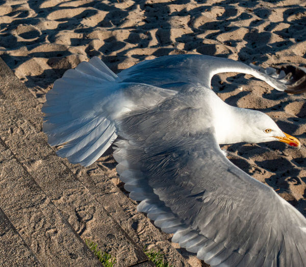 High angle view of seagull flying over land