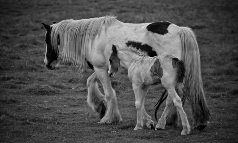 Animal Themes Mammal Domestic Animals Outdoors Grass No People Day Nature Black And White Monochrome Equine Photography Animal Wildlife Ponies Mare And Foal Full Length Rural Scene Spring Livestock Grass Nature Photography Horse Photography  Pony New Born Nature Togetherness