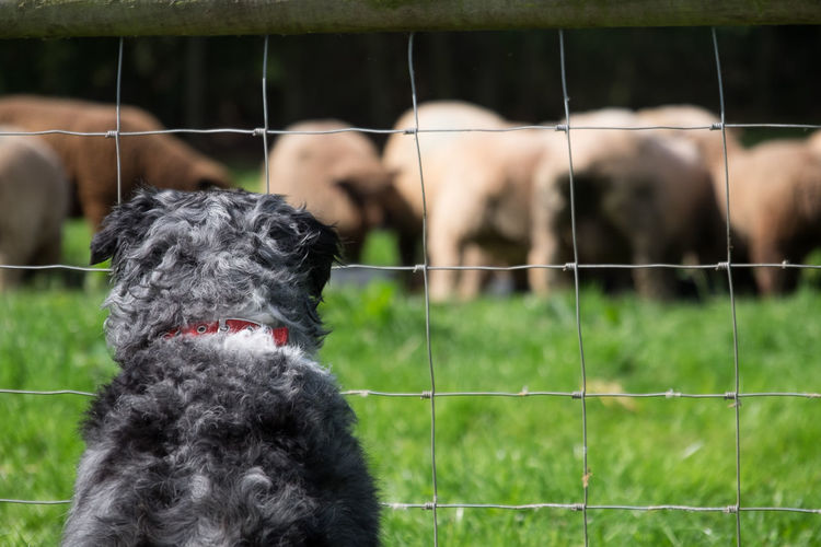 Rear View Of Dog Looking At Sheep Through Fence