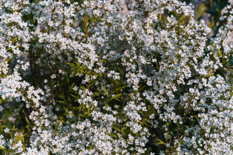 Plant Growth Beauty In Nature Flower Flowering Plant Vulnerability  Fragility Freshness Day Nature Close-up No People Selective Focus White Color Outdoors Tree Springtime Flower Head Tranquility Blossom Lichen Cherry Blossom Bunch Of Flowers