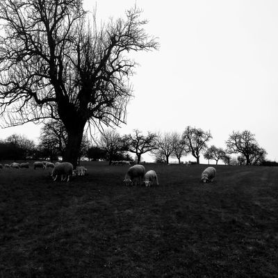 Sheep Tree Rural Scene Agriculture Field Silhouette Sky Farmland