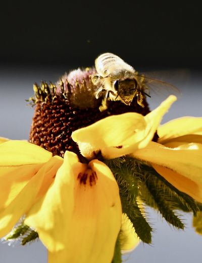 Close-up of honey bee pollinating yellow flower