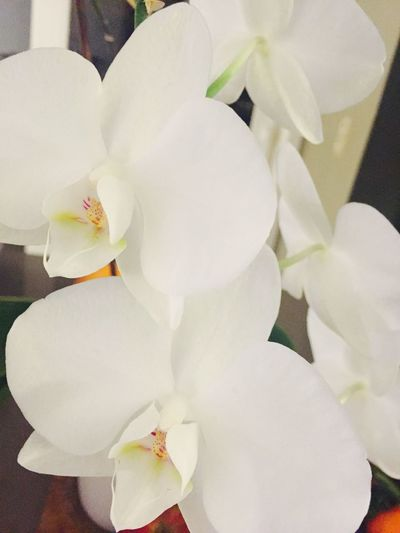 Orchid Orchid Flower White