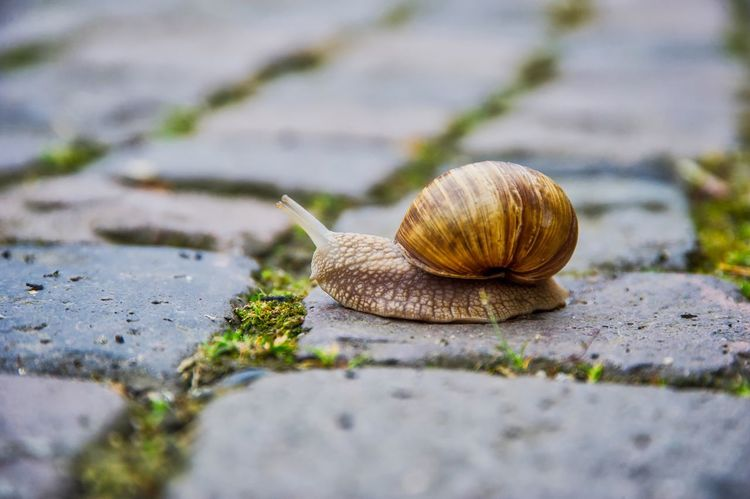 Roman snail Snail One Animal Gastropod Animal Themes Animal Shell Wildlife Animals In The Wild Surface Level Close-up Nature Outdoors Day No People Animal Wildlife Fragility AMP PICTURES The Street Photographer - 2017 EyeEm Awards