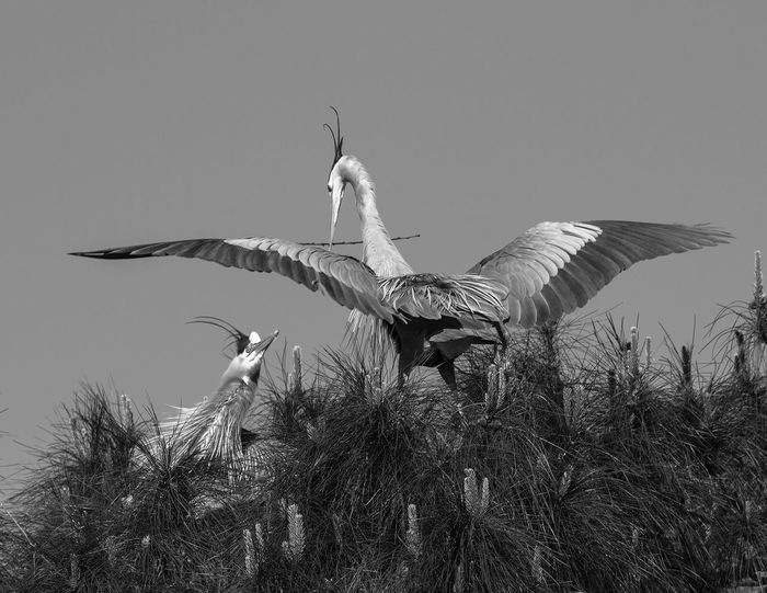 Animal Themes Animal Wildlife Animals In The Wild B&w Photography Bird Day Flying Herons Building Nest Herons On Nest Low Angle View Nature No People Outdoors Sky Spread Wings