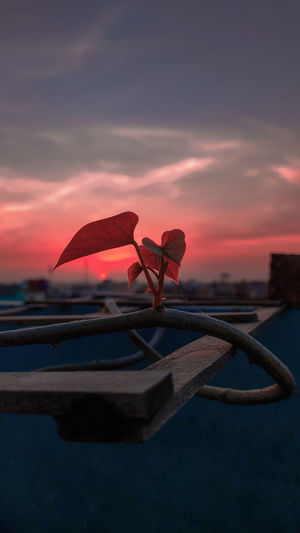 Close-up of red flower against sky during sunset