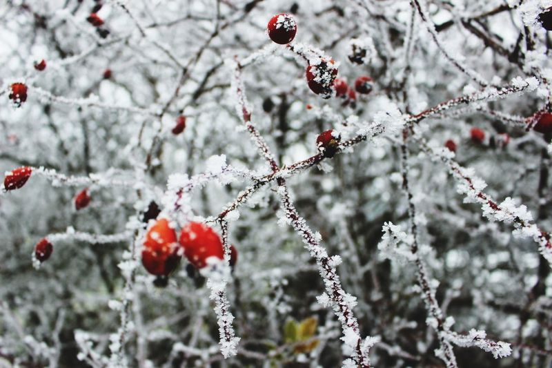 Schnee Reif Hageputte Natur Pflanze Fruit Nature Outdoors Plant Rowanberry Winter No People Riegersburg Austria Styria Plant Idyllic red rot Shades Of Winter