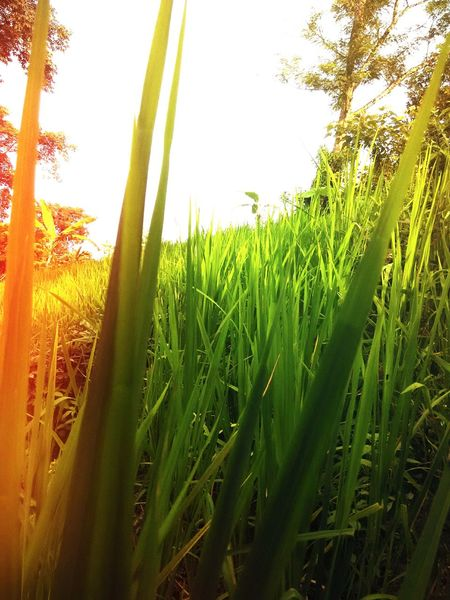Rice Field Rice Cultivation Rice Terraces Green Nature Textures Sunset Colour Of Life