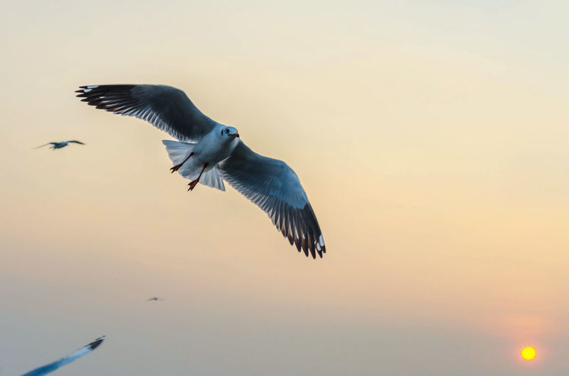 EyeEm Animal Lover EyeEm Best Shots EyeEm Nature Lover Freedom Seagulls Animal Themes Animal Wildlife Animals In The Wild Beauty In Nature Bird Day Flying Independent  Low Angle View Mid-air Nature No People One Animal Outdoors Seagull Sky Spread Wings Spread Wings Bald Sun Sunset
