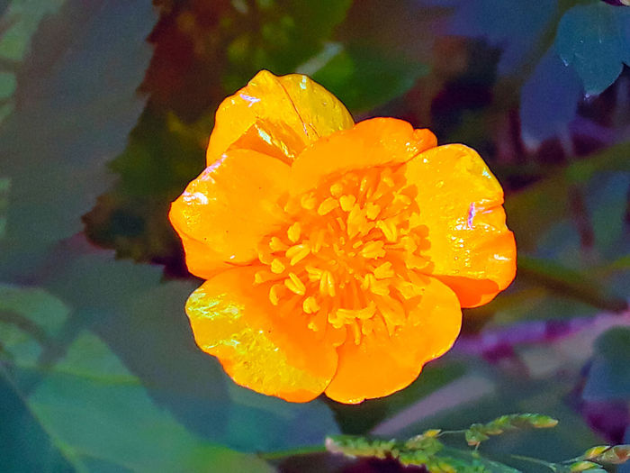 Close-up of wet yellow rose flower