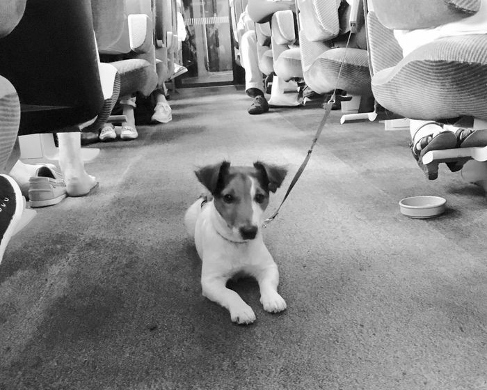 Domestic Animals Pets Dog One Animal Sitting Looking At Camera Person City Life Looking TGV Streetstyle Black And White Noir Et Blanc Petit Chien