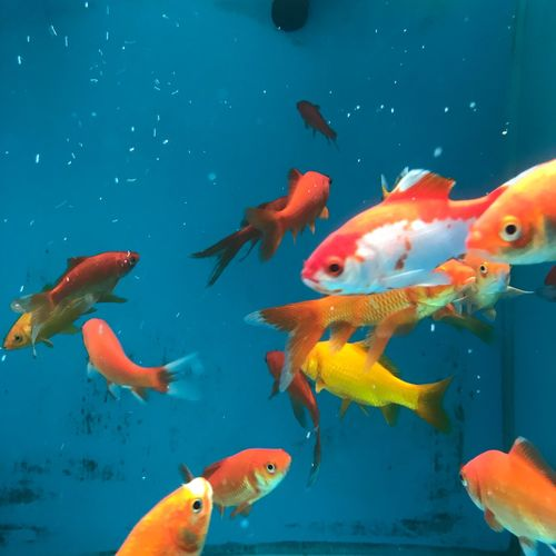 View of goldfish swimming in a fishtank with blue background