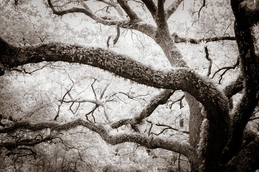 Black & White Blackandwhite Branch Close-up Day Foliage Nature No People Outdoors Red Filter Tree Tree Trunk